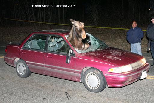 Smoke Showing Photography | Leominster Ma - Moose vs Car - 2006