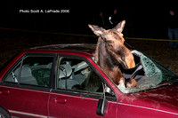 Leominster Ma - Moose vs Car -  2006